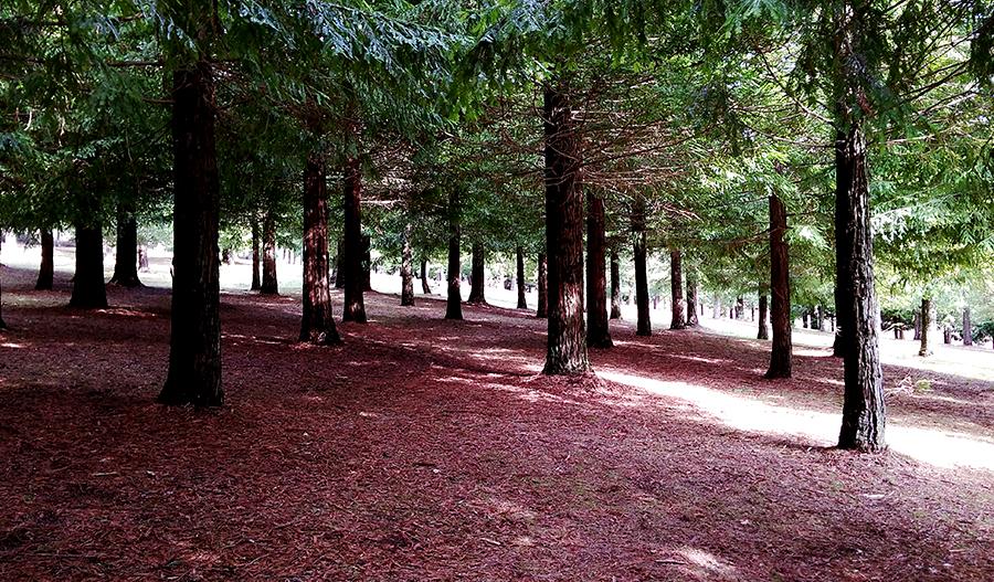Bosque de Colón 500 Redwoods of California