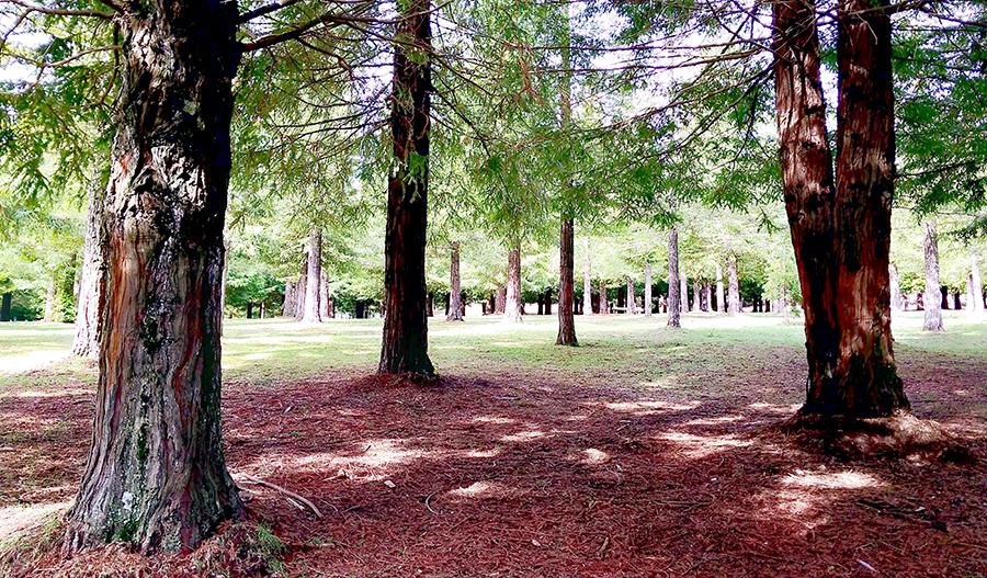 A maior floresta de sequóias da Europa